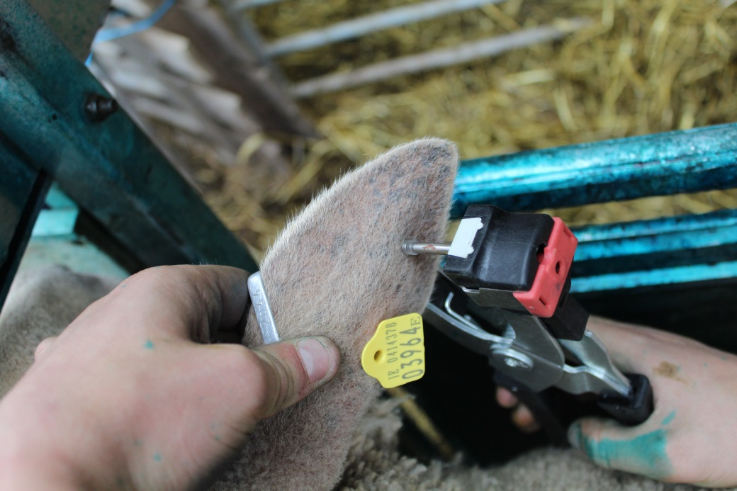 Have you genotyped your stock rams?