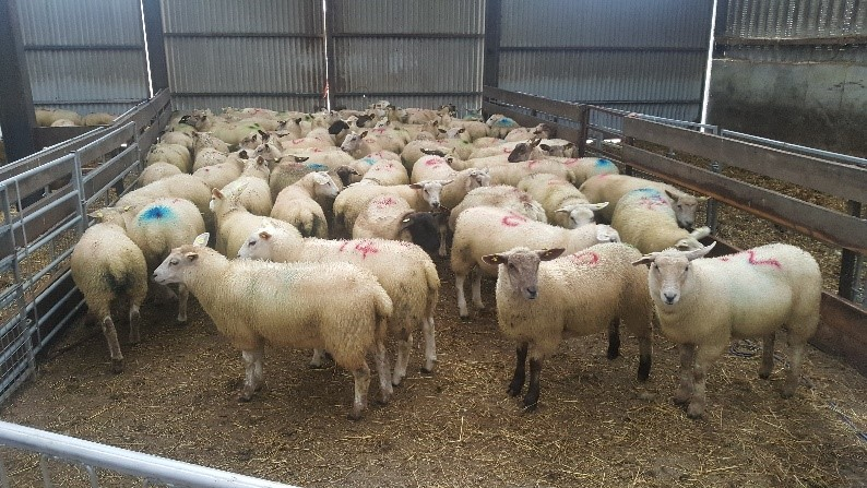 Record Your Ewe Lambs as Not Mated Now!