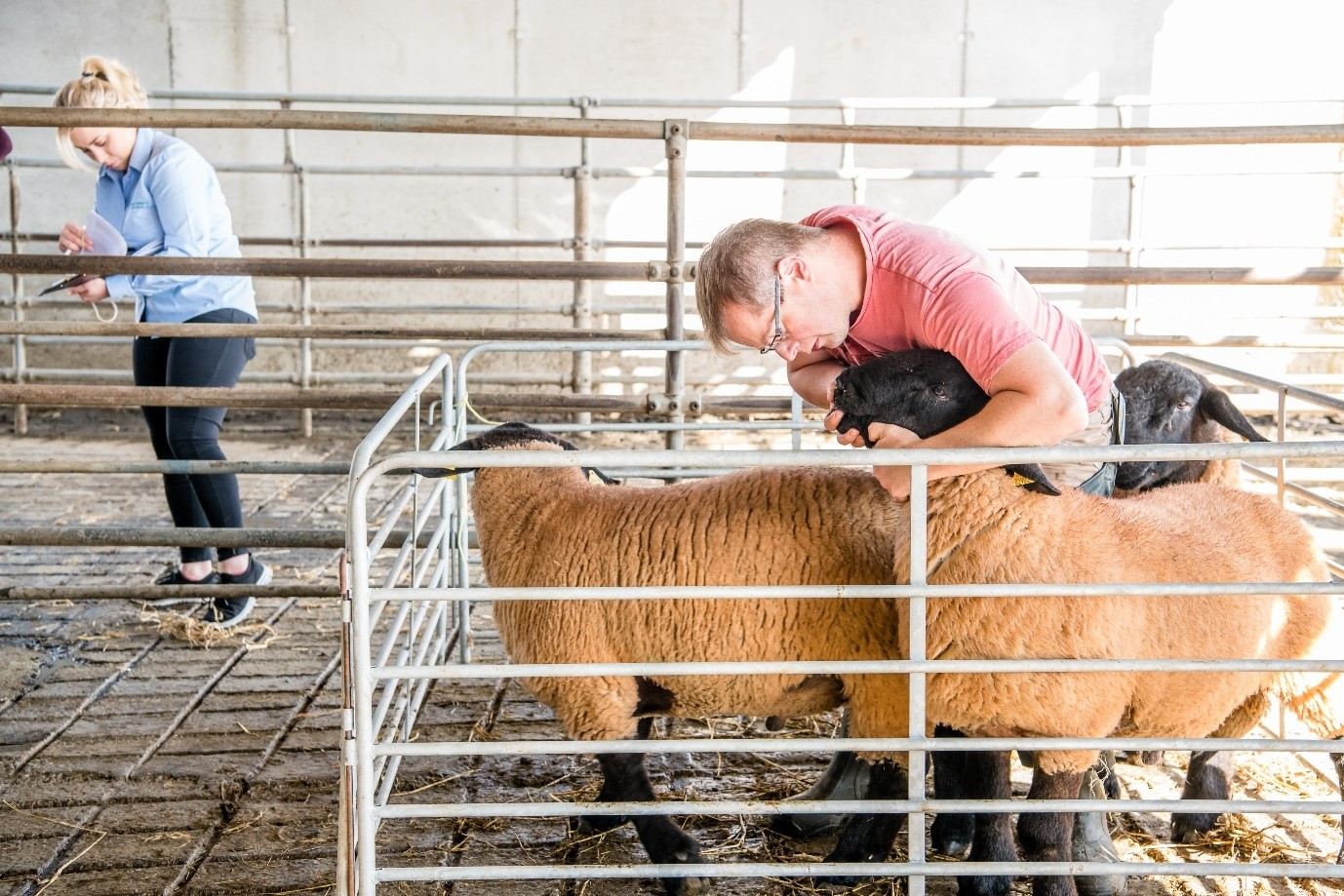 Genotype (DNA sample) your potential entries to Sheep Ireland's Elite €uroStar Multi-Breed Ram Sale 2021 by next Tues June 15th!