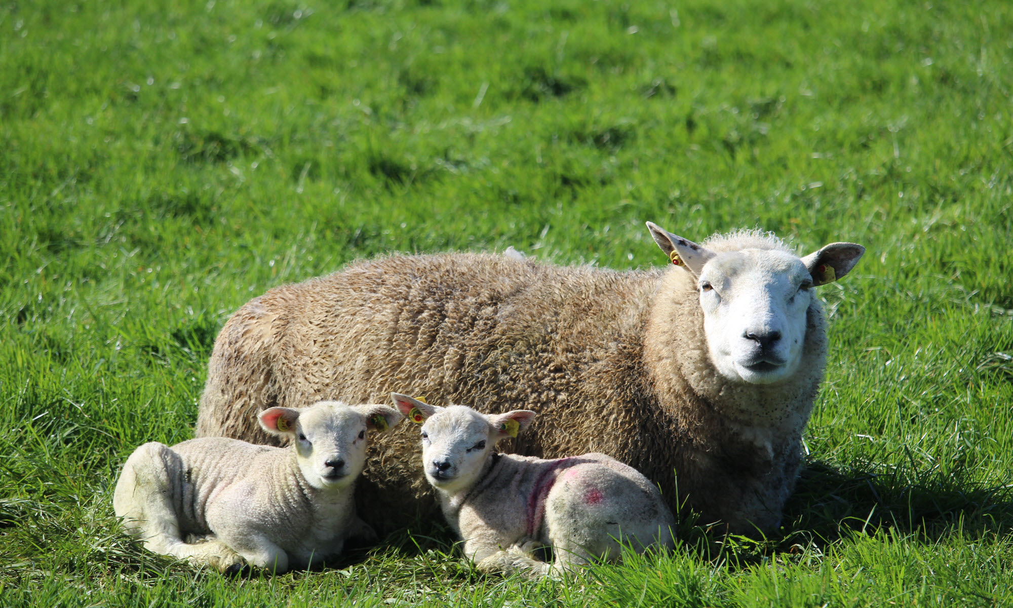 The Importance of Recording Foster and Pet Lambs